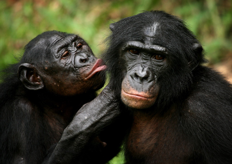 081013-bonobos-attack-missions_big[1]